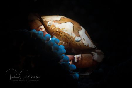 Harlequin Crab-Anilao. by Richard Goluch