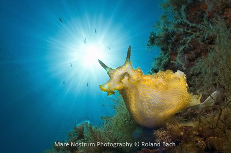 Nudibranch (Felimare picta) in the Mediterranean sea.Shot... by Roland Bach