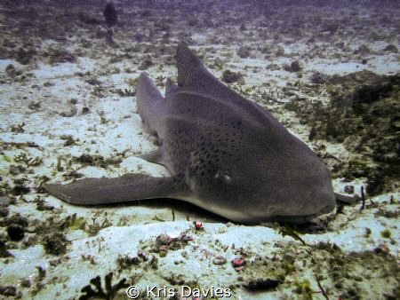 Leopard Shark, relaxing at the 'Pinnacle' Mozambique. by Kris Davies