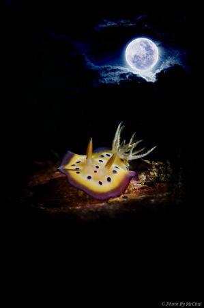 Title: The Moonlight Nudibranch  ID: Chromodoris kuniei ... by Mr Chai