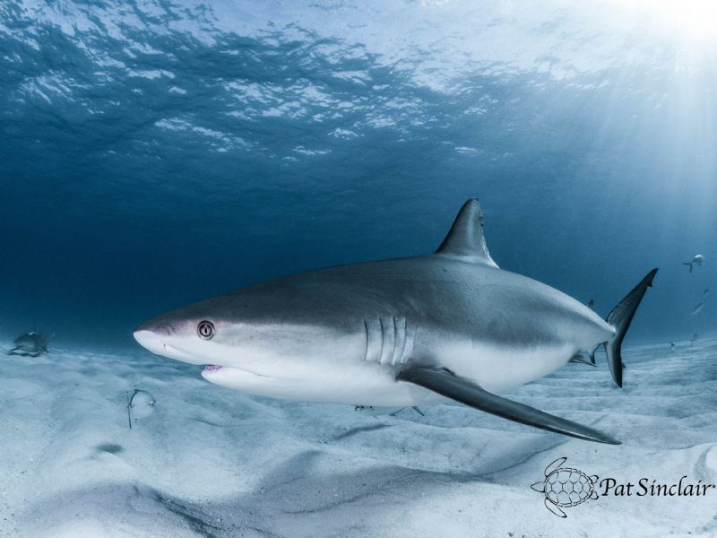 "Reef shark coming in to say ""Hello, how are you?"" by Patricia Sinclair"