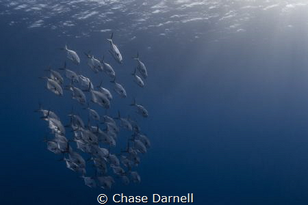 """""""Permit Pack"""" A very rare sighting for me here in Cayman... by Chase Darnell"""