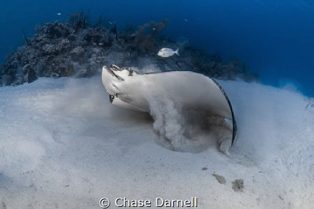 Dig | Eat | Swim A Spotted Eagle Ray finishes off his Ga... by Chase Darnell