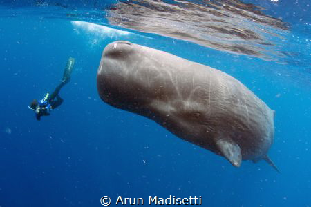 Photographer and Sperm Whale (taken under permit) by Arun Madisetti