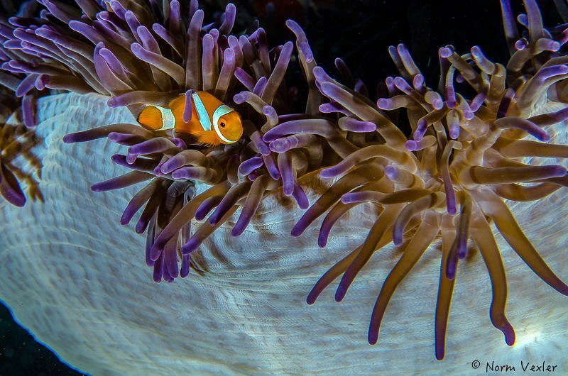 Beautiful colors surround this Spinecheek Anemonefish in ... by Norm Vexler