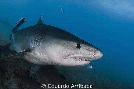 The Tiger Shark by Eduardo Arribada