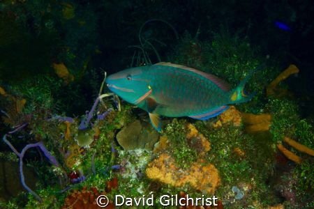 A Stoplight Parrotfish(terminal phase) in the waters off ... by David Gilchrist
