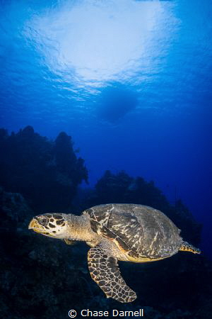 """""""Turtle Time"""" A Hawksbill Turtle swims along the edge of... by Chase Darnell"""