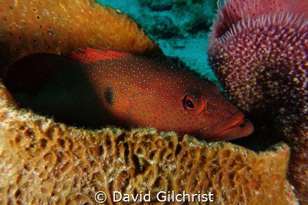 A Coney tries to remain hidden among Sponge in Cozumel. by David Gilchrist