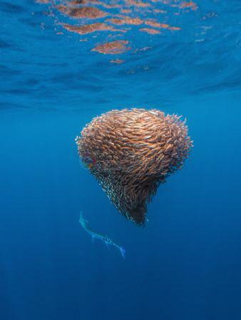 Longnose Needlefish hunting on a baitball of schooling fi... by Oktay Calisir