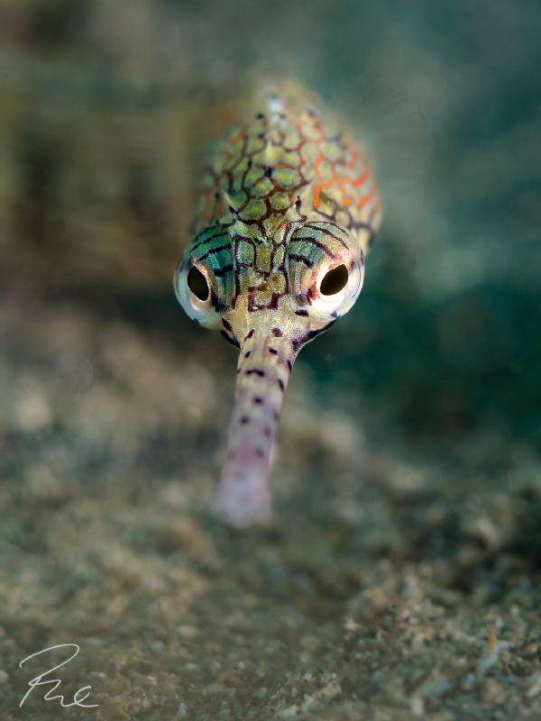 Pipefish close up by Philippe Eggert