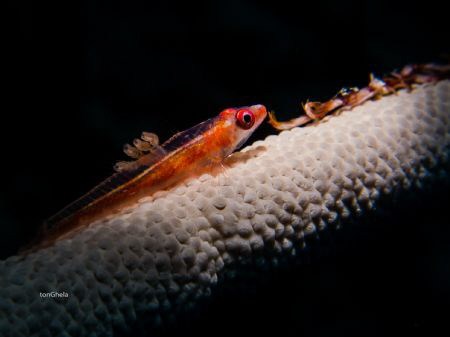 GOBY WITH PARASITES by Ton Ghela