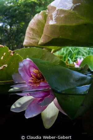 waterlily splitshot by Claudia Weber-Gebert