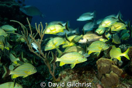 A school of fish cruise the waters of Cozumel. by David Gilchrist