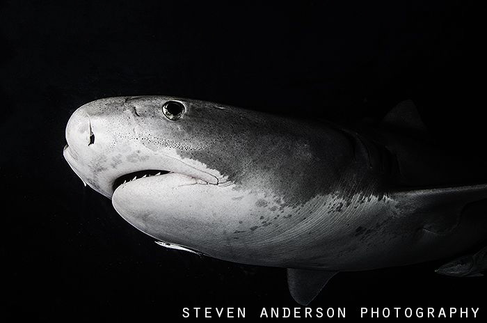 Appearance at Dark, this Tiger Shark makes a quick pass! by Steven Anderson