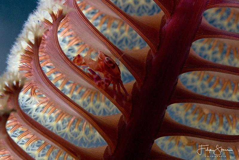 Porcelain crab on the branch of a sea pen. Backlight. Kom... by Filip Staes