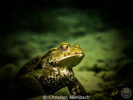 Frog in the cold Freshwater of the Lake Lucerne! Canon G... by Christian Allenbach