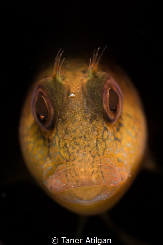 Little teeth - Snooted blenny - no crop by Taner Atilgan