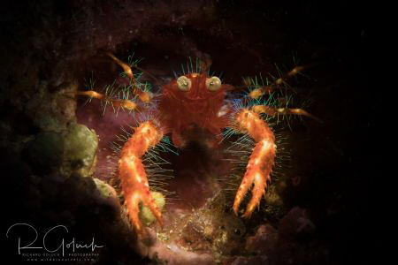 Olivar's squat lobster-Anilao. by Richard Goluch
