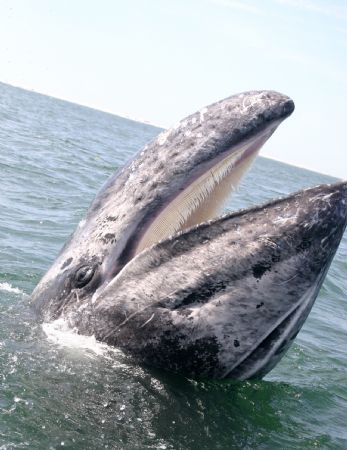 I work as a naturalist in San Ignacio Lagoon Mexico. Whal... by James Dorsey