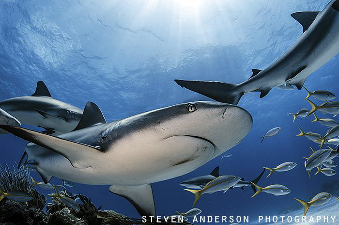 Reef Sharks move quick across the healthy reefs of the Ba... by Steven Anderson