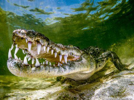 American Crocodile - An American crocodile shot at Banco ... by Tom St George