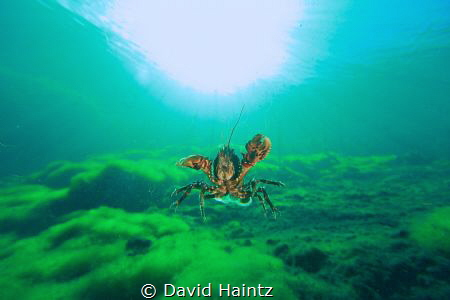I was trying to capture this freshwater cray as it was in... by David Haintz
