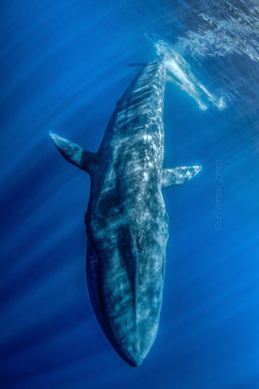 Balaenoptera musculus - Blue Whale by Wayne Jones