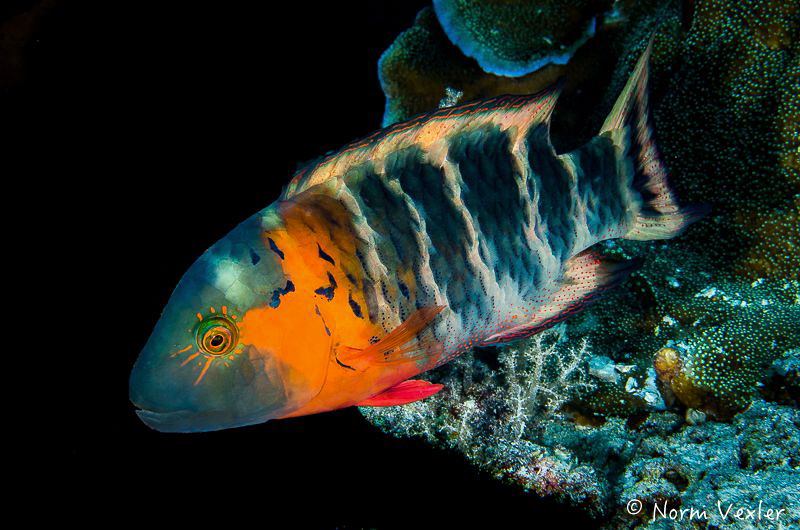 Redbreasted Wrasse by Norm Vexler