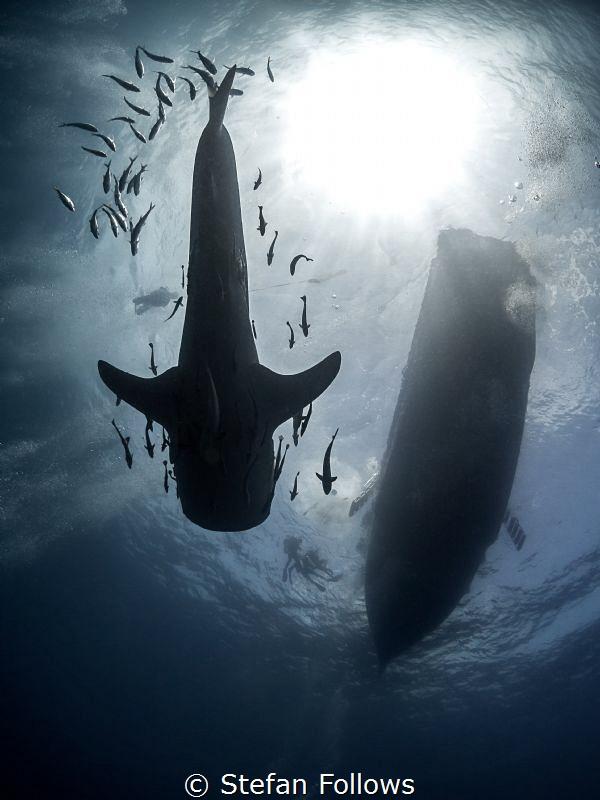 Critical Mass  Whale Shark - Rhincodon typus  Sail Ro... by Stefan Follows