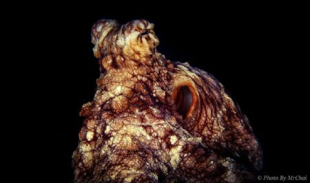 octopus (octopoda) mataking island sabah semporna Shutt... by Mr Chai
