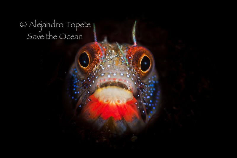 Blenny on Black, Acapulco Mexico by Alejandro Topete