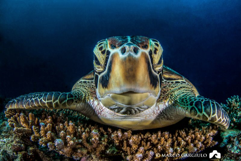 Green Turtle by Marco Gargiulo