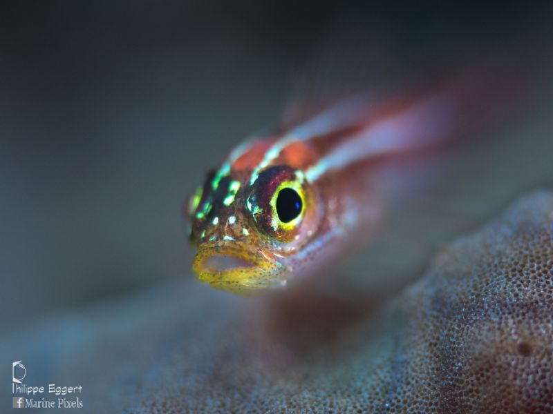 Juvenile triplefin goby by Philippe Eggert