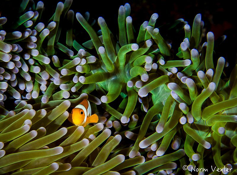 False Clown Anemonefish by Norm Vexler