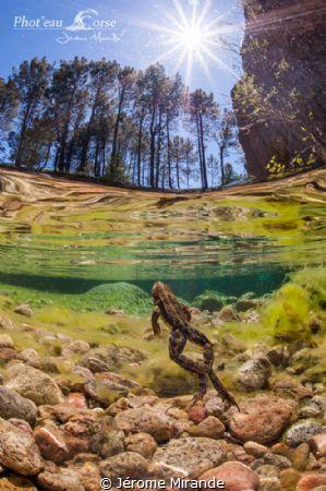 Grenouille dans la rivière de la Solenzara by Jérome Mirande