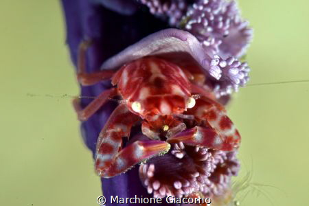 Porcellain crab. Lembeh