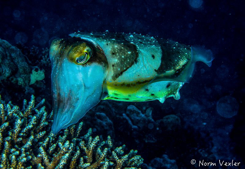 Beautiful Cuttlefish in the Komodo Islands changing color... by Norm Vexler