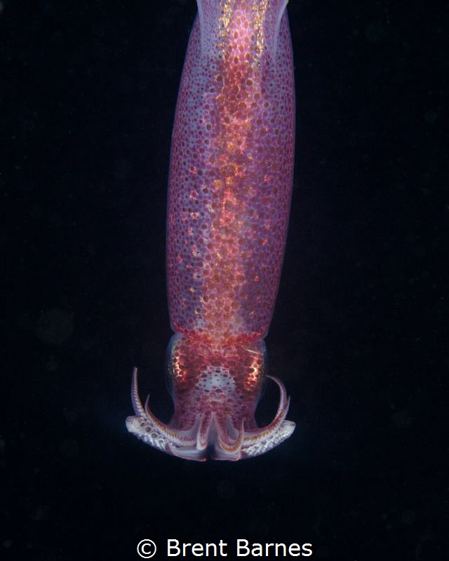 A Squid On A Blackwater Dive in West Palm Beach, Florida by Brent Barnes