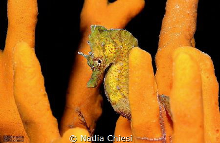 Yellow seahorse by Nadia Chiesi