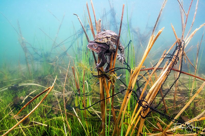 Mating Toads, Turnhout, Belgium. by Filip Staes