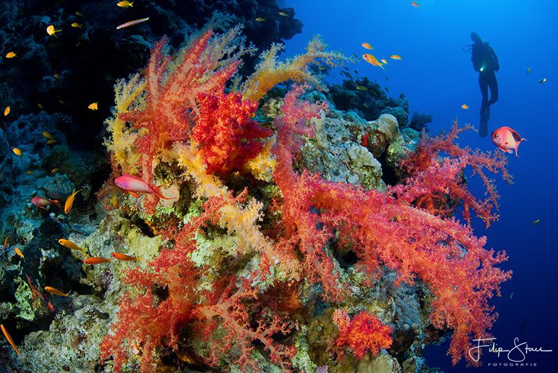 """Soft corals explosion"", The Bells, Dahab. by Filip Staes"