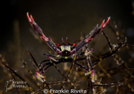 A very little guy hanging out in the coral. Black Coral ... by Frankie Rivera