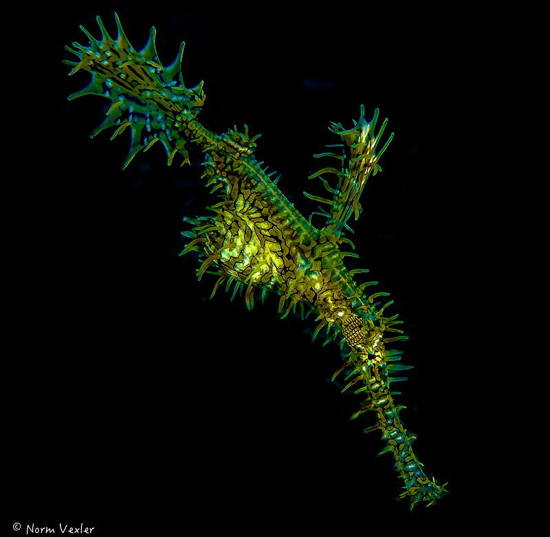 Ornate Ghost Pipefish in the Philippines by Norm Vexler