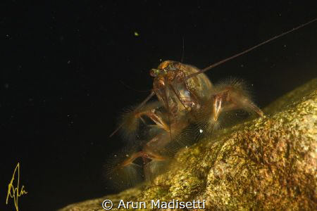 Bamboo shrimp in  a rainforest plunge pool by Arun Madisetti