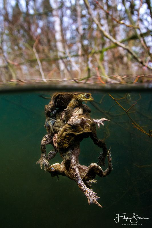 """The battle"", mating toads, Turnhout, Belgium. by Filip Staes"