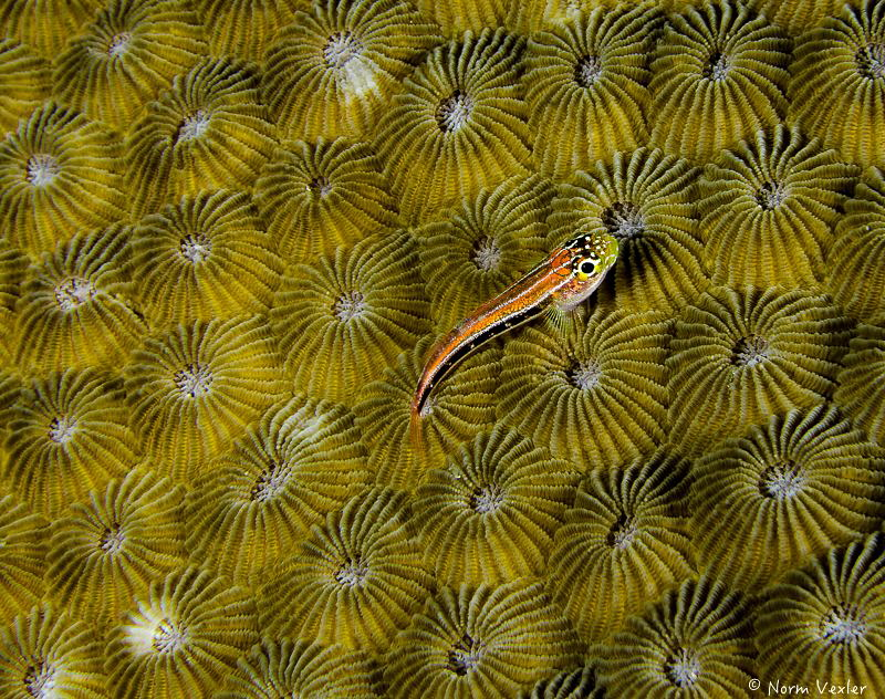 Goby on coral by Norm Vexler