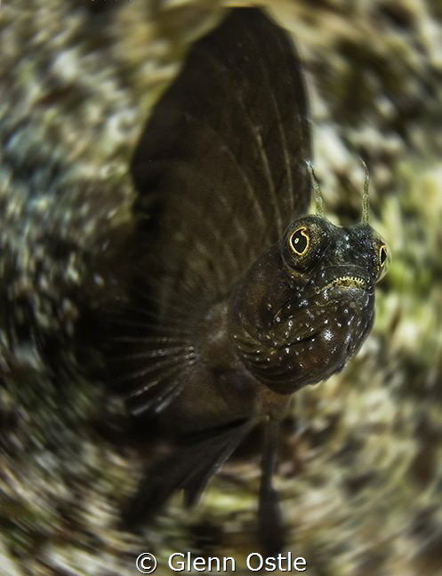 """Sailfin Blennys can become a """"blur"""" as they dart from the... by Glenn Ostle"""