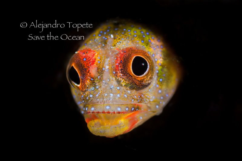 Blenny in Black, Acapulco México by Alejandro Topete