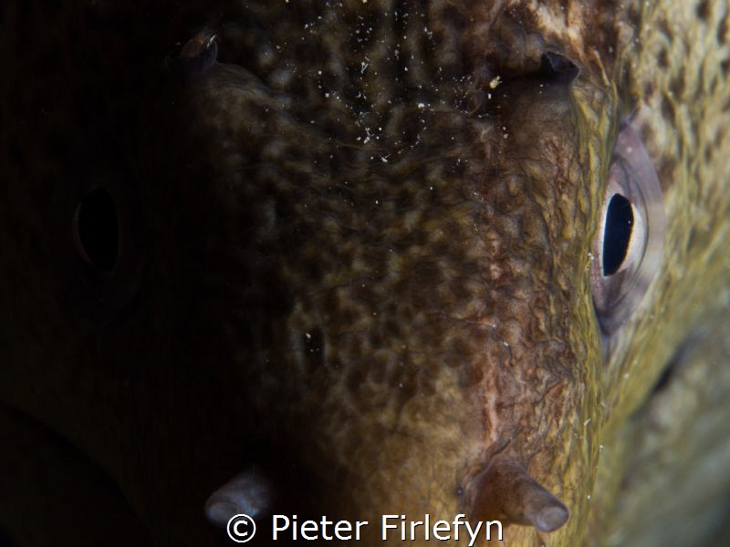 Moray eel by Pieter Firlefyn
